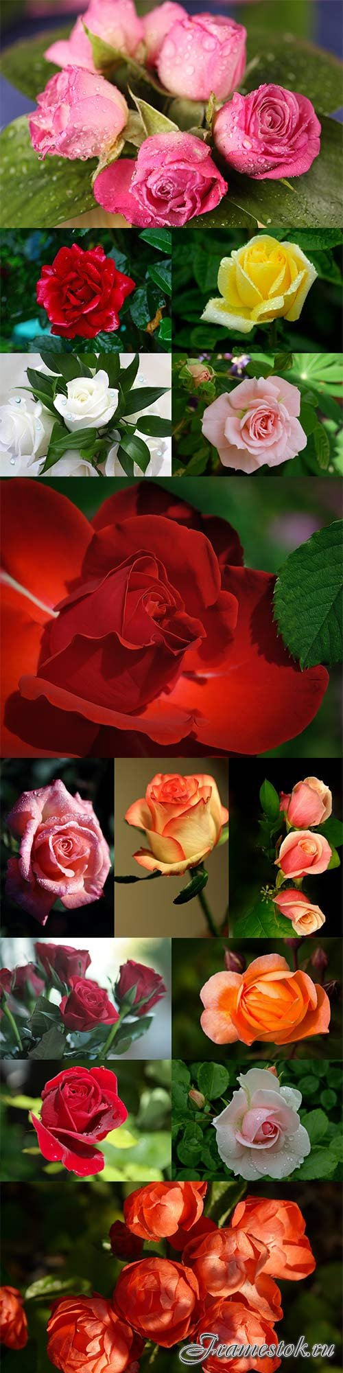 Stunning beautiful roses