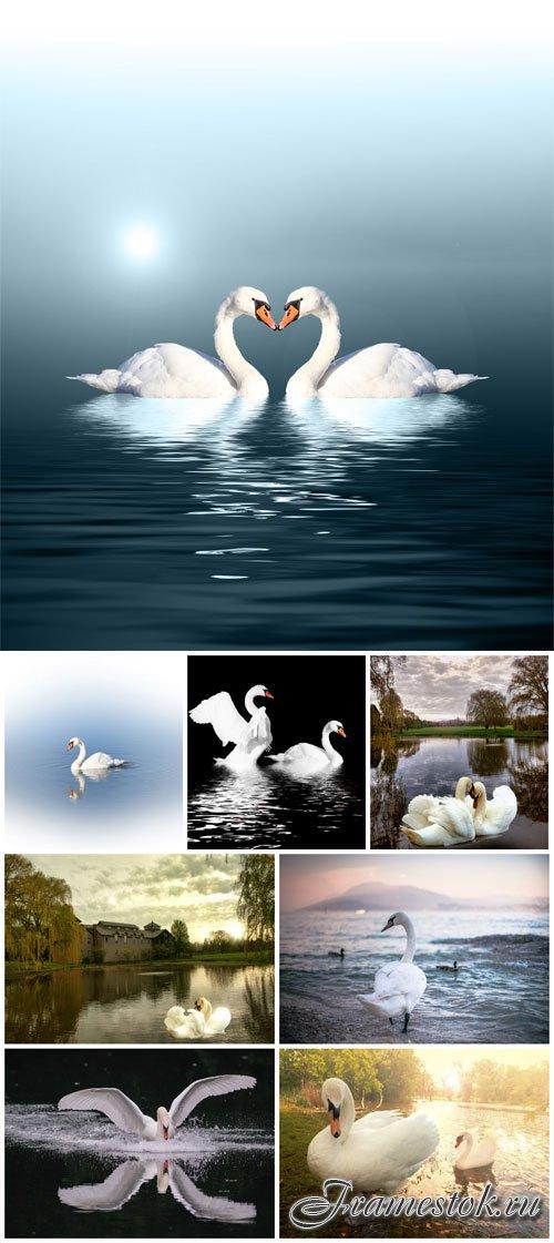 White swans stock photo
